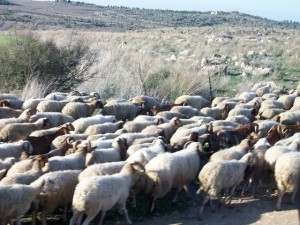 Sheep amerainey